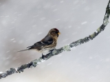 Lesser redpoll, Carduelis cabaret, Single bird on branch in snow, Warwickshire, January 2013